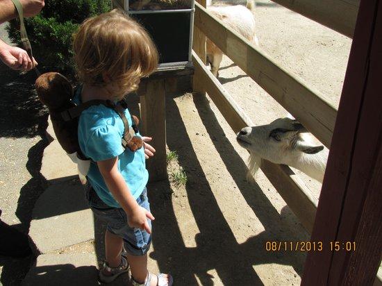 Henson Robinson Zoo: feeding the goat