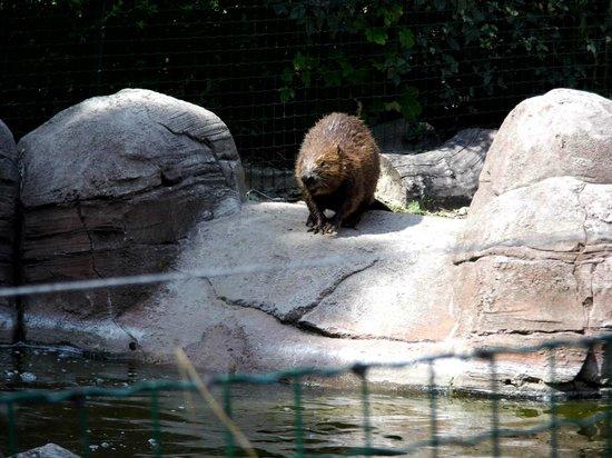 Parc Zoologique de Fort Mardyck: le castor