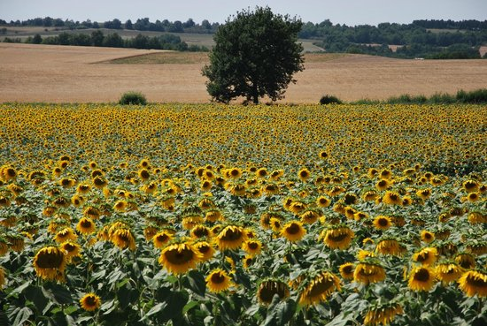 Nizza Travel - Day Tours : Sonnenblumenfeld