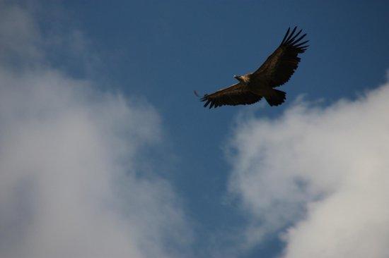 Parque Natural del Cañón del Río Lobos: Buitre vigilándonos.