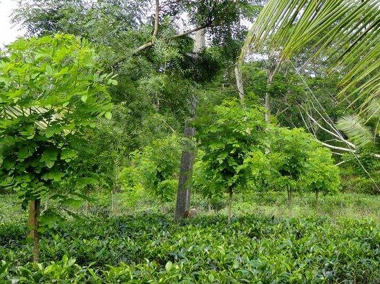 Shanthi Lanka Ayurveda Resort : Hotel Tea Garden