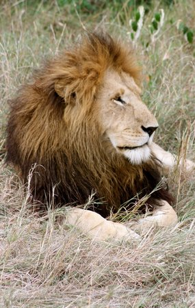Mara Leisure Camp: young lion for ver close