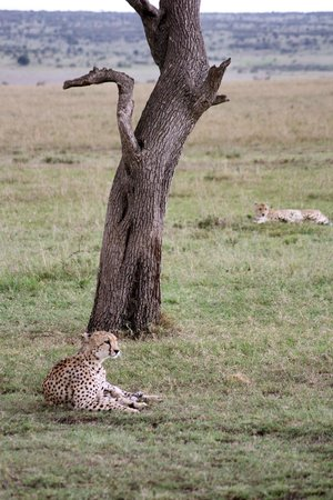 Mara Leisure Camp: two cheetah brothers