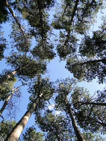 red pines in Preacher's Grove
