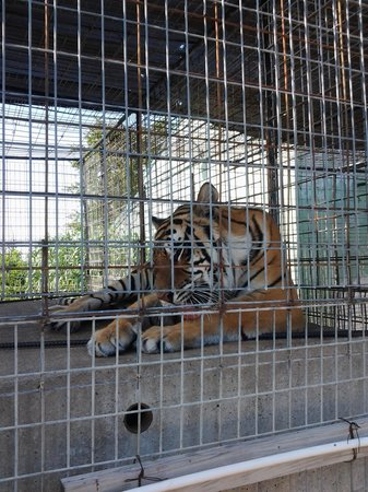 Turpentine Creek Overnight Lodging: tigers