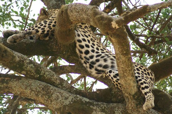 Royal Mara Safari Lodge: Leopard relaxes in a tree