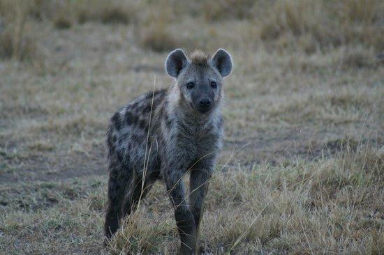Royal Mara Safari Lodge: Hyena