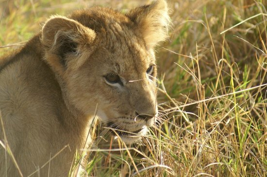 Royal Mara Safari Lodge: Gorgeous lion cub
