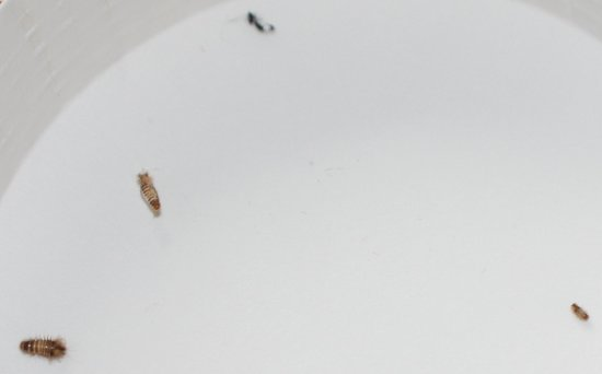 Auburn, AL: Bugs I found in the mattress.  Others around baseboard and one in bed escaped me