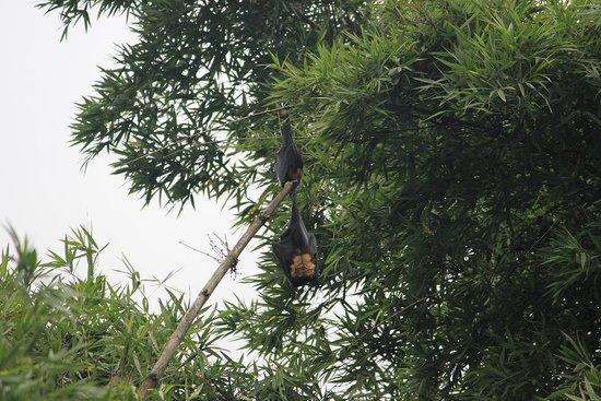 Wildernest Bed & Breakfast: Bats in the bamboo grove