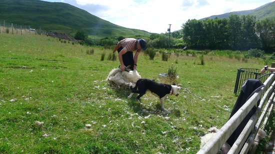 The Sheep and Wool Centre: Sheep sheering demonstration