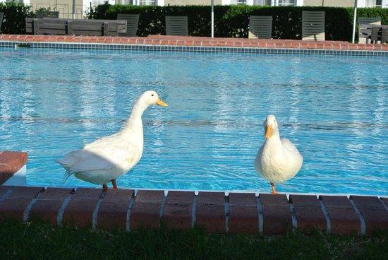Protea Hotel by Marriott Stellenbosch: The friendly ducks