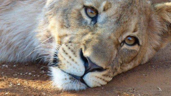 Mosetlha Bush Camp & Eco Lodge: Lion