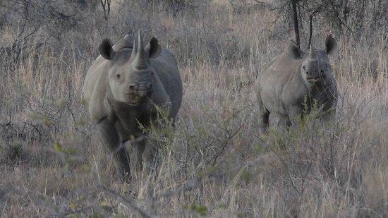 Mosetlha Bush Camp & Eco Lodge: Black Rhino