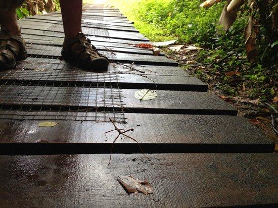 Hacienda Barú Lodge: Baru Stick Bug