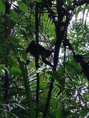 Hacienda Barú Lodge: Baru Monkey