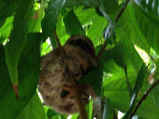 Hacienda Barú Lodge: Baru Baby Sloth