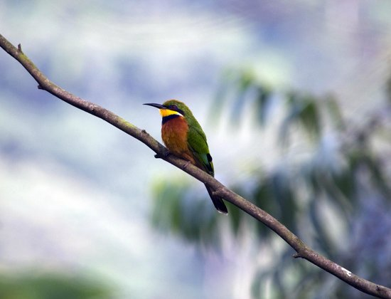 Lake Kitandara Tented Camp : Bee eater - taken from camp balcony