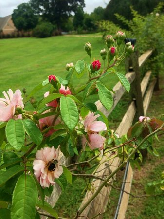 Barnsley Resort: August Roses & Bees