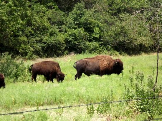 Chickasaw National Recreation Area: Bison pasture near Travertine nature center
