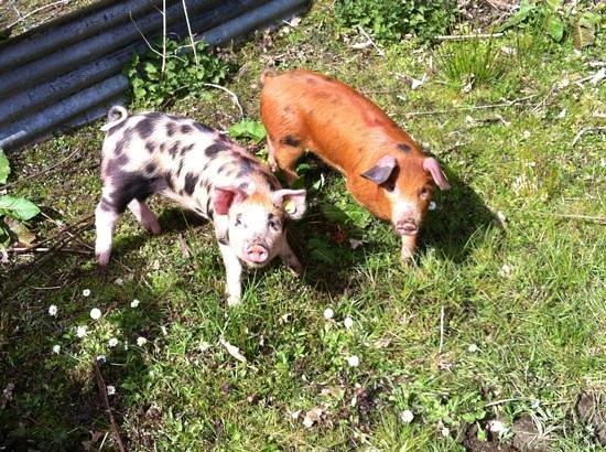 Craig Highland Farm: pinky & perky when piglets