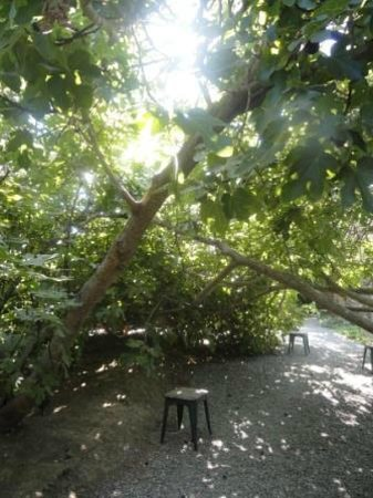 Park Winters: Inside the fig forest. Stools are placed throughout to help you pick figs.