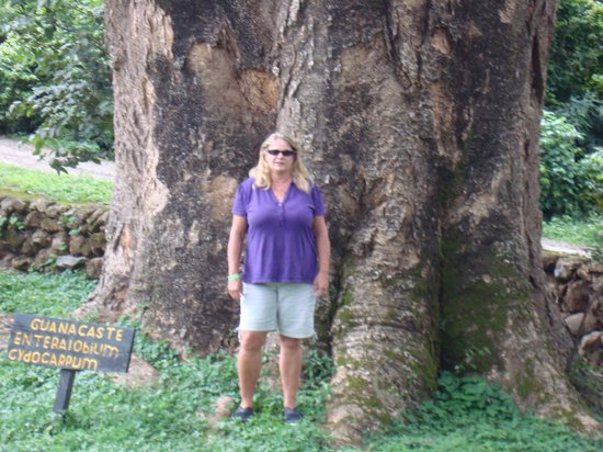 Hacienda Guachipelin: This tree was huge
