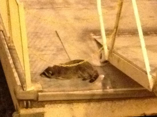Golden Nugget Laughlin: Raccoon that came at night