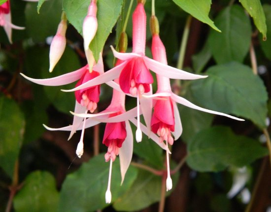 City Garden Bed & Breakfast: Lovely fuschia on front porch.