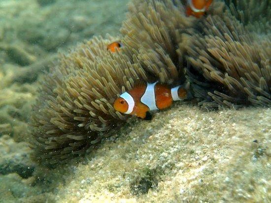 Gem Island Resort & Spa: Clown fish right at resort beach front