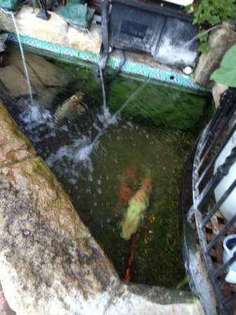 Villa Rosa Inn: Koi fish waiting to die, they need more space than this pond!