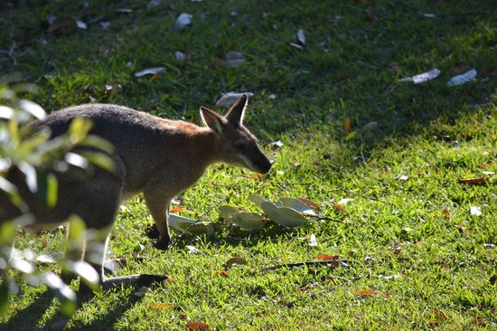 Calurla Chalets: Red-necked wallaby that visited