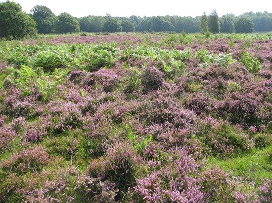Hothfield Heathlands Nature Reserve: Heather in bloom