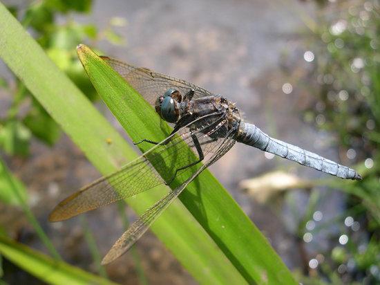 Hothfield Heathlands Nature Reserve: Keeled Skimmer, Hothfield Heathlands