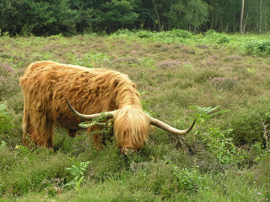 Hothfield Heathlands Nature Reserve: Highland Cattle, Hothfield Heathlands