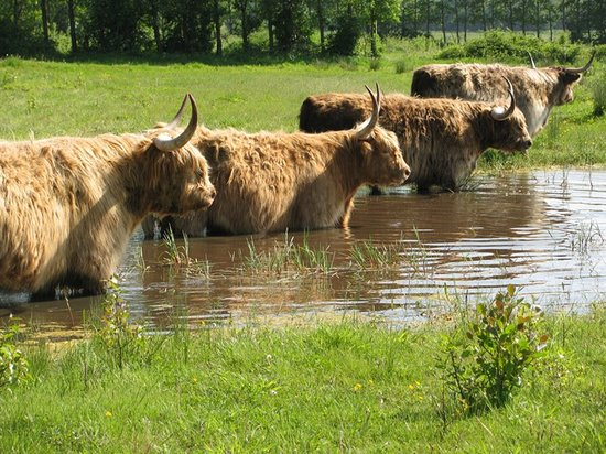 Hothfield Heathlands Nature Reserve: Highland cattle