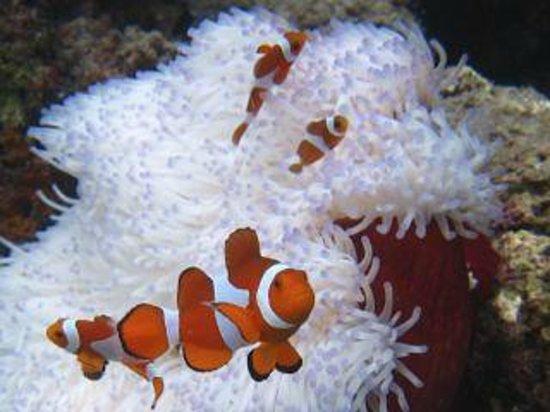 clownfishes - Picture of Thalassa PADI Dive Resort, Manado ...