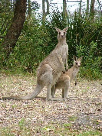 Bombah Point Eco Cottages: Kangaroos are regular visitors to the lodges