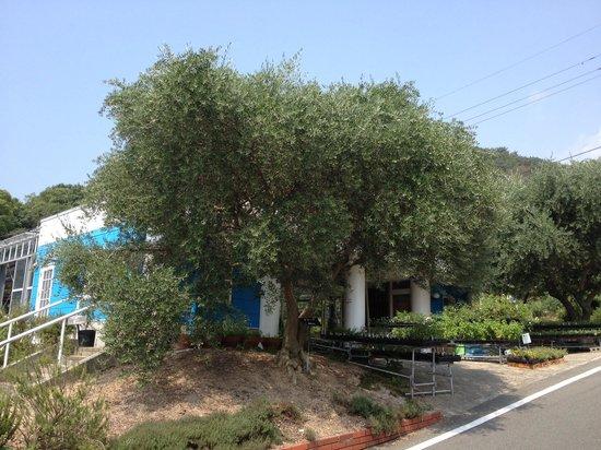 Michi-no-Eki Shodojima Olive Park : オリーブの大木