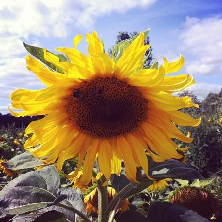 Darts Farm: sunflower picking in aid of Hospice Care