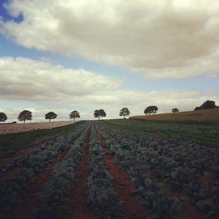 Darts Farm: vegetable fields at Darts