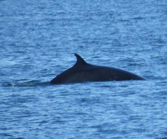 San Juan Excursions: Minke whale