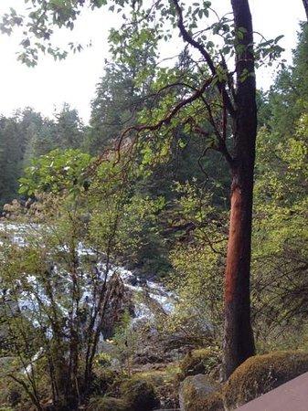 Nanaimo, Canadá: Arbutus Tree