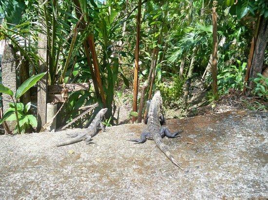 Hotel Arboleda: Iguanas