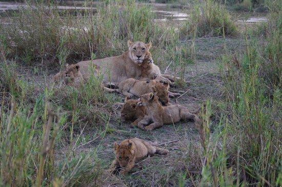Dulini Lodge : Lionne et bébés lions
