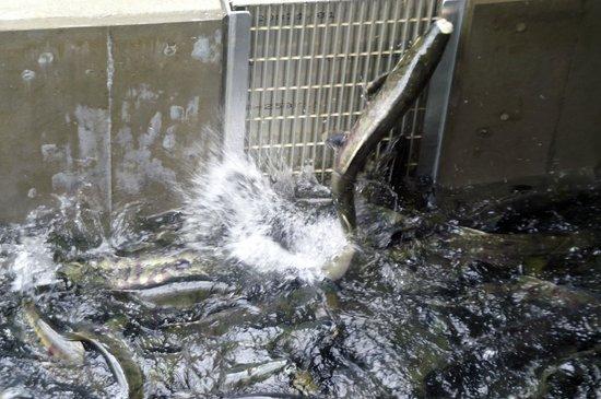 Macaulay Salmon Hatchery/DIPAC : Salmon Trying To Get Into The Hachery