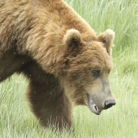 Katmai Wilderness Lodge: big bear