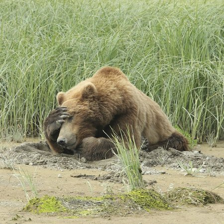 Katmai Wilderness Lodge: big bear 2