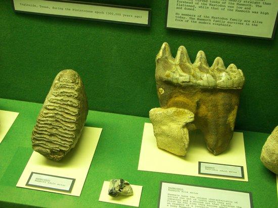 Corpus Christi Museum of Science and History: Dinosaur Teeth