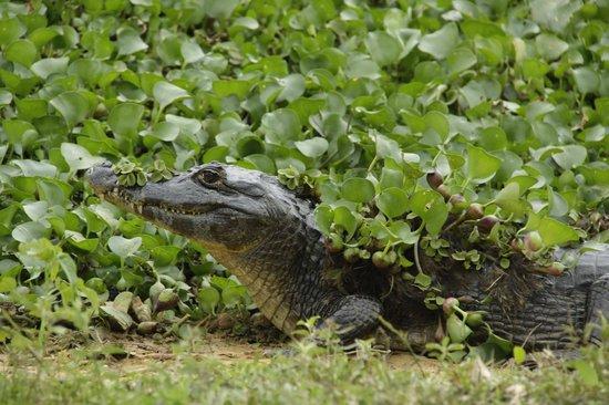Araras Pantanal Ecolodge: Jacare